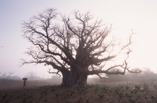 A Thousand Year Song of Baobab